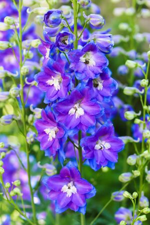 lilac delphinium flower close up in the garden on a green background Stock Photo