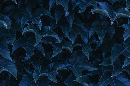 blue ivy leaves close up. texture and background for designers. symmetrical leaves Stock Photo - 128970737