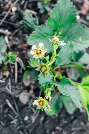 Blooming bushes of strawberries on the farm. Plant disease. Berry formation, flower pollination