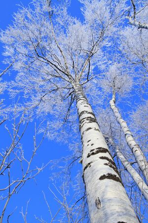 foreshortening: Birch in the winter covered with hoarfrost against the blue sky  Bottom foreshortening Stock Photo