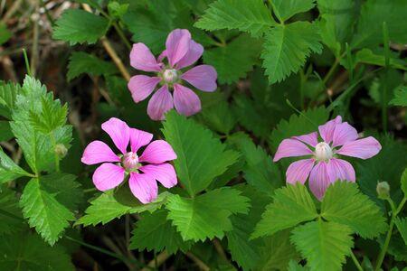 ラズベリー - 北極キイチゴ アルクティクス L 北キイチゴ アルクティクス ベリー植物花クローズ アップ 写真素材