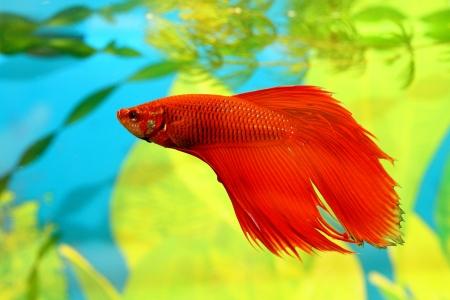 aquarian: Aquarian fish swims in aquarium water