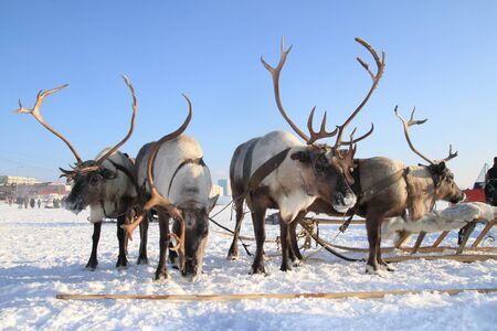 House reindeers are harnessed in sledge Stock Photo