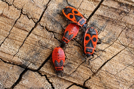 Bug wingless  Insects against old wood photo