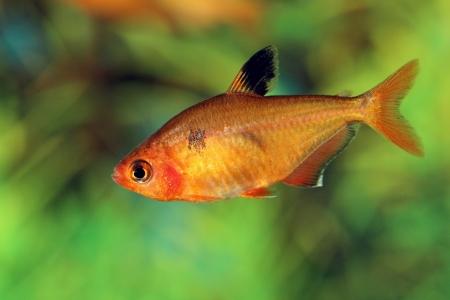aquarian small fish of Hyphessobrycon pulchripinnis in an aquarium inter Stock Photo - 19481615