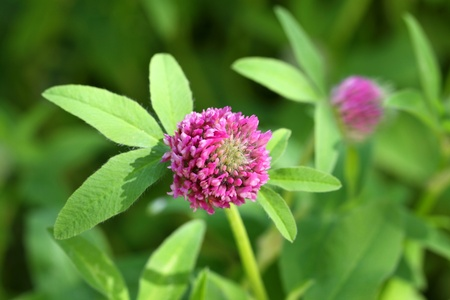 Clover. Plant flowering close up Stock Photo - 21013615