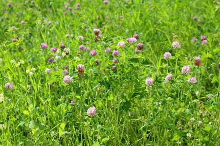 Clover flowering on a meadow in a sunny day photo