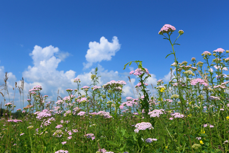 Meadow with a growing yarrow in a sunny day photo