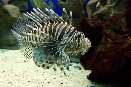pterois volitans: Tropical fish close up. Pterois volitans Stock Photo
