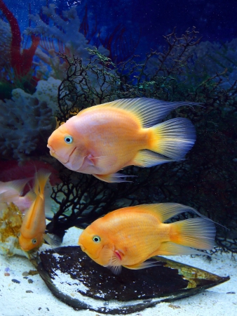 Aquarian fishes in an aquarium interior close up photo