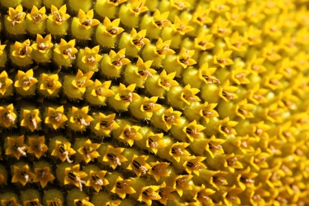 Sunflower inflorescence close up Banco de Imagens