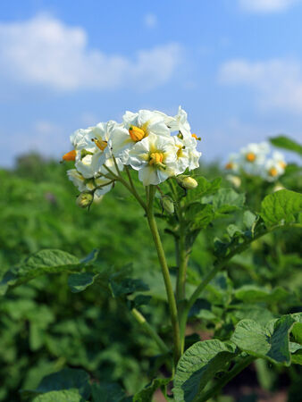 Blossoming bush of potatoes against the blue sky Stock Photo