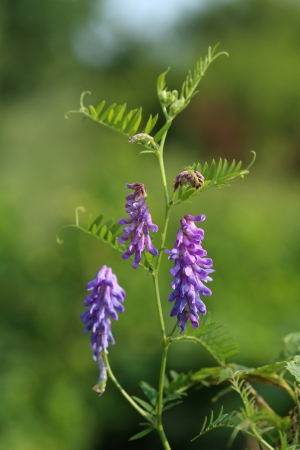 Vicia cracca. Wild vetch blossoming close up Stock Photo