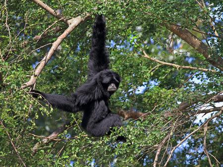 siamang: Siamang. Monkey on a tree among foliage