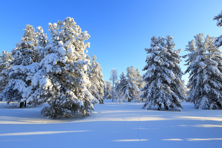 cedars: Winter landscape with the cedars covered with snow Stock Photo