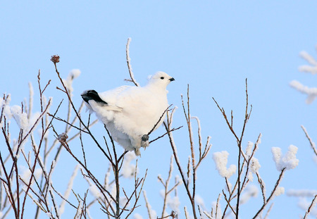 雪の上に座っている白のヤマウズラ 写真素材