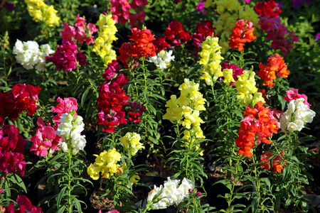 Antirrhinum. Blossoming plant close up Banco de Imagens