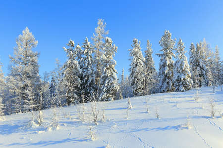 The wood in the winter in Siberia in the sunny day photo