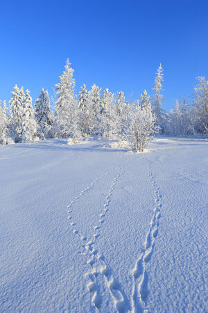 The wood in the winter in Siberia in the sunny day with traces of animals in the foreground photo