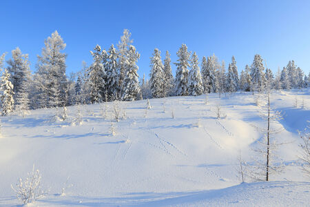 The wood in the winter in Siberia photo