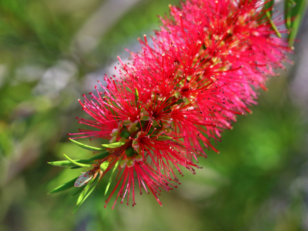 callistemon: Callistemon. Plant flower close up