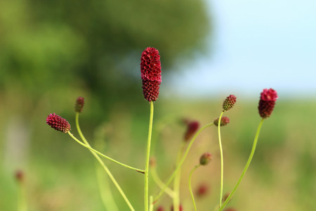 sanguisorba: Sanguisorba officinalis. Plant close up