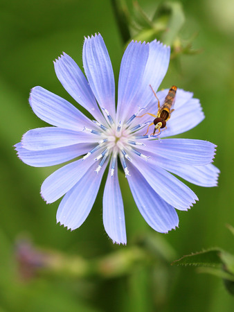 chicory flower: hoverfly sits on a chicory flower