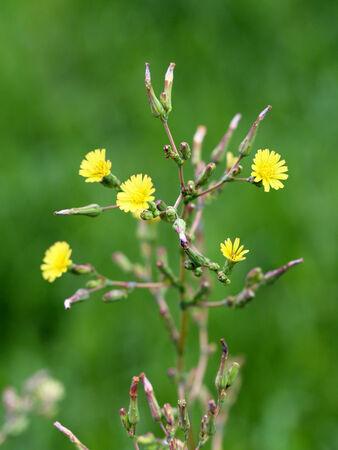 lactuca: Lactuca saligna. Plant image close up