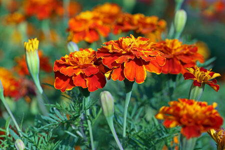 tagetes: tagetes. Plant flowers close up