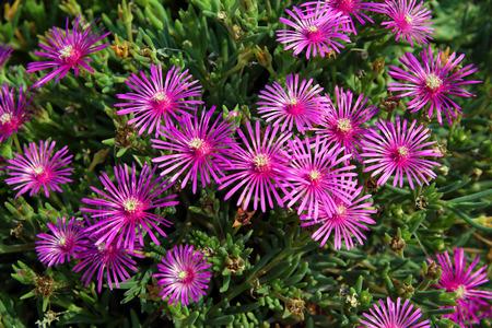bolus: Delosperma cooperi L. Bolus. Plant flowers close up Stock Photo