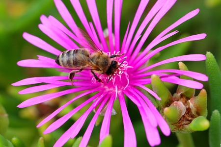 bolus: Delosperma cooperi L. Bolus. Bee on a plant flower close up Stock Photo