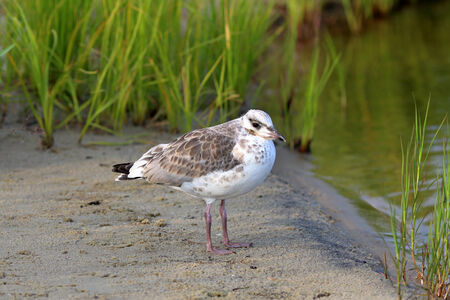 larus: Larus fuscus. Young seagull on the bank of the lake