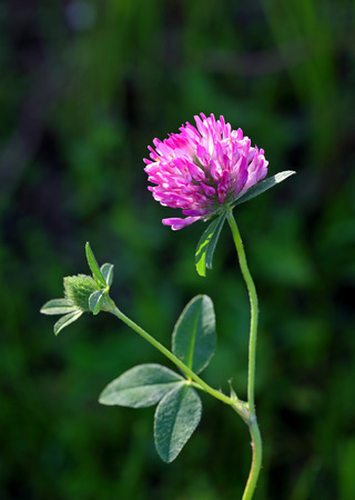 Trifolium pratense. Plant flowers close up photo