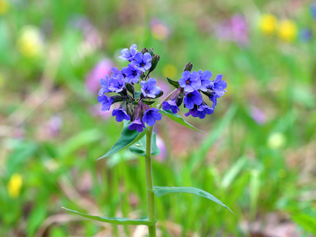 mollis: Pulmonaria mollis. Image plant close up Stock Photo