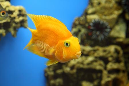 aquarian fish: Cichlasoma parrot. Aquarian fish close up