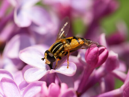Helophilus pendulus. Fly close up on a lilac flowe photo