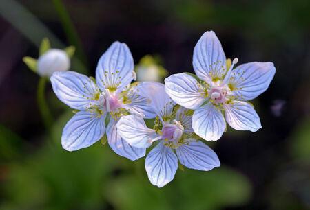palustris: Parnassia palustris. Plant flowers close up Stock Photo