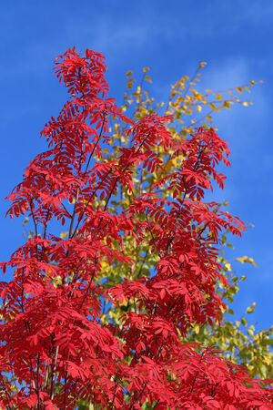 sorbus: Sorbus aucuparia. Red leaves of a mountain ash against the blue sky Stock Photo