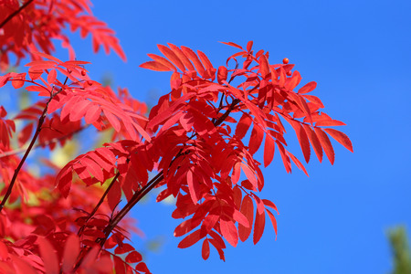 sorbus aucuparia: Sorbus aucuparia. Red leaves of a mountain ash against the blue sky Stock Photo