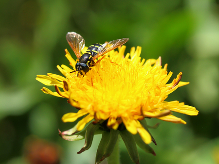 The fly Helophilus pendulus pollinates a dandelion flower photo