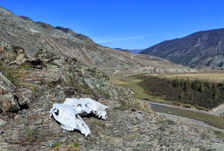 Two skulls of a horse against Altai mountains photo
