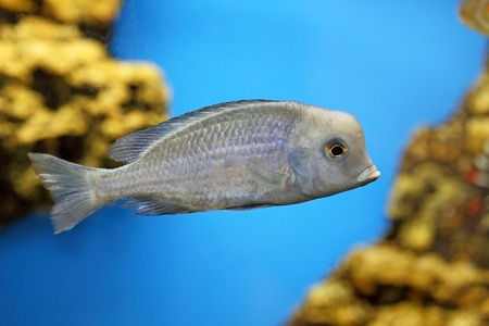 blue fish: Cyrtocara moorei. Aquarian fish dolphin blue