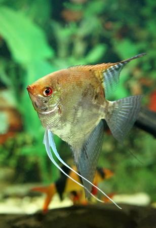 pterophyllum scalare: Pterophyllum scalare. The image of fish in an aquarium Stock Photo