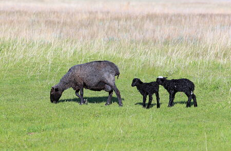 Sheep with two newborn lambs on a pasture photo