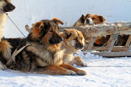 esquimales: Los perros tienen un descanso en la nieve
