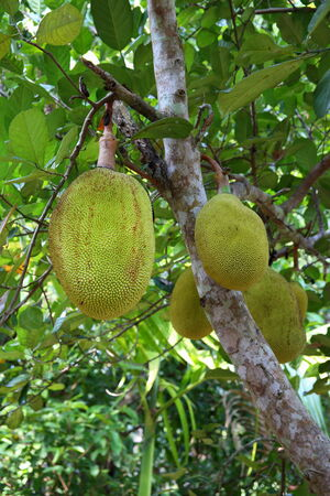 Fruits of a breadfruit tree Stock Photo
