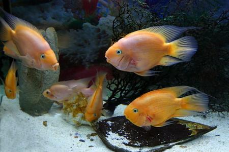 cichlasoma: Cichlasoma parrot. Aquarian fishes in an aquarium interior