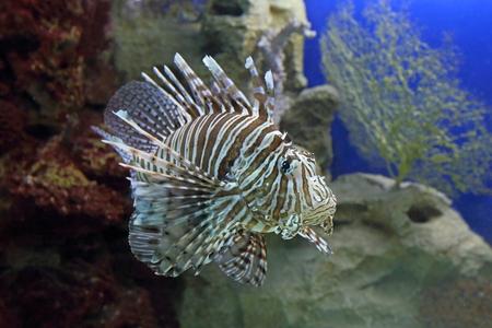 pterois volitans: Pterois volitans. Fish close up