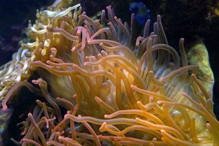 polyp: Actiniaria. Sea polyp close up