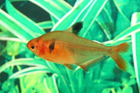 hyphessobrycon: Hyphessobrycon minor. Aquarian fish close up Stock Photo